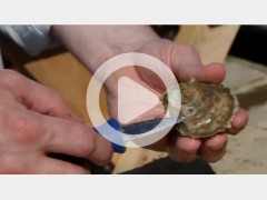 Sewall_Shucking-Oysters